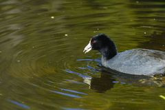 Beautiful Black coot swimming in a pool. With beautiful reflection Royalty Free Stock Photography