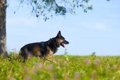 Beautiful black dog german shepard in summer with flower field