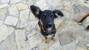 Dog. A beautiful Black dog looking at the camera Stock Photography
