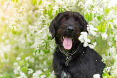 Beautiful black dog posing at spring tree in blossom Stock Photos