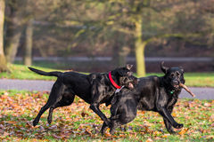 Beautiful Black dogs Royalty Free Stock Image