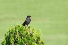 A beautiful black Drongo Royalty Free Stock Photography