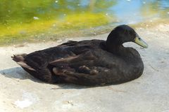 Beautiful black duck in the Park in summer. View Royalty Free Stock Photography