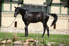 Beautiful black dutch warmblood with bridle