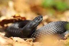 Beautiful black european adder Stock Images