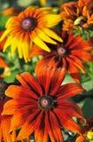 Beautiful black-eyed susan flowers Royalty Free Stock Image