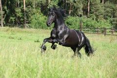 Black friesian stallion running Stock Photos