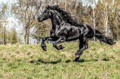 Beautiful black friesian stud stallion