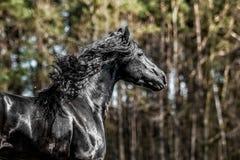Beautiful black friesian stud stallion. Beautiful friesian stud stallion. In the pasture in the light of the sun black king of Polish horse breeding royalty free stock photo