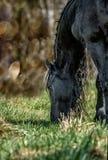 Beautiful black friesian stud stallion. Beautiful friesian stud stallion. In the pasture in the light of the sun black king of Polish horse breeding stock photos