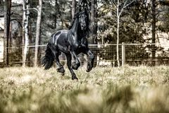 Beautiful black friesian stud stallion. Beautiful friesian stud stallion. In the pasture in the light of the sun black king of Polish horse breeding royalty free stock images