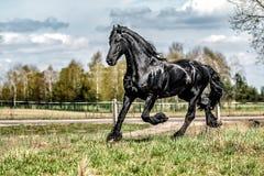 Beautiful black friesian stud stallion. Beautiful friesian stud stallion. In the pasture in the light of the sun black king of Polish horse breeding royalty free stock photography