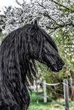 Beautiful black friesian stud stallion. Beautiful friesian stud stallion. In the pasture in the light of the sun black king of Polish horse breeding stock photography