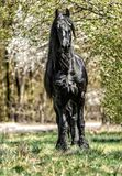 Beautiful black friesian stud stallion stock images