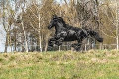 Beautiful black friesian stud stallion. Beautiful friesian stud stallion. In the pasture in the light of the sun black king of Polish horse breeding stock photo