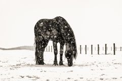 Beautiful frisian stallion portrait in the snow. Beautiful black frisian stallion portrait in the snow royalty free stock photography