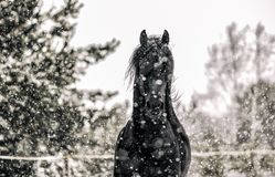 Beautiful frisian stallion portrait in the snow stock images
