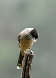Beautiful Black headed Jay sitting on a wooden log Royalty Free Stock Image