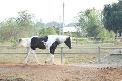 Beautiful Black horse. Animal farm Royalty Free Stock Photo