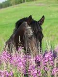 Beautiful black horse in field Stock Image
