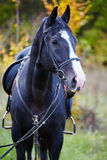 Beautiful black horse in the forest Stock Photos