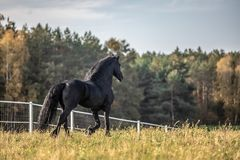 Beautiful black horse. The Friesian stallion gallops on the autumn meadow