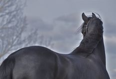 A beautiful black horse Stock Images