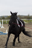 Beautiful black horse gallops on arena Royalty Free Stock Image
