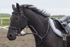 Beautiful black horse gallops on arena Royalty Free Stock Photo