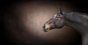 Beautiful black horse head on dark background stock image