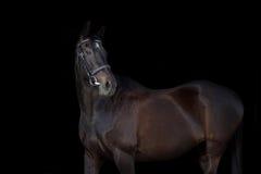 Beautiful black horse portrait. Beautiful horse portrait on black background Stock Photography