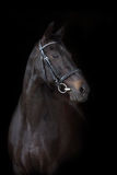 Beautiful black horse portrait. Beautiful horse portrait on black background Royalty Free Stock Image