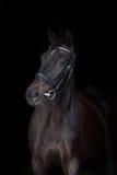 Beautiful black horse portrait. Beautiful horse portrait on black background Stock Image
