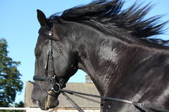 Beautiful black horse portrait with bridle Royalty Free Stock Images