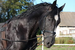Beautiful black horse portrait with bridle Stock Photography