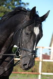 Beautiful black horse portrait with bridle Royalty Free Stock Photos
