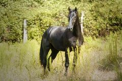 Beautiful black horse portrait in the meadow. Awesome black brilliant horse standing alertness with the ears up in a meadow under the sun royalty free stock image