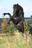 Beautiful black horse prancing on pasturage Royalty Free Stock Photo