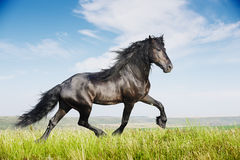 Beautiful black horse running trot Stock Photo