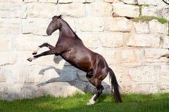 Beautiful black horse stallion rear. And play royalty free stock photos