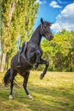 Beautiful black horse stands on its hind legs in nature stock photo