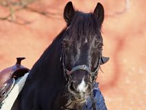 Beautiful black horse with a western saddle stock images