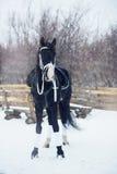 Beautiful black horse winter stock photos
