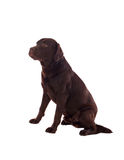 Beautiful black Labrador dog breed Stock Image