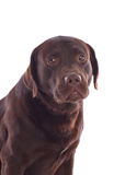 Beautiful black Labrador dog breed Stock Photos