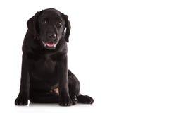 Beautiful black Labrador. Beautiful black Labrador isolated on white background Stock Photography
