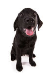 Beautiful black Labrador. Beautiful black Labrador isolated on white background Royalty Free Stock Images