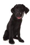 Beautiful black Labrador. Beautiful black Labrador isolated on white background Stock Images