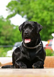 Beautiful black Labrador laying Stock Image