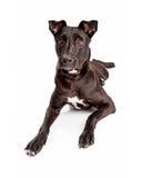 Beautiful Black Labrador Mixed Brred Dog Royalty Free Stock Image